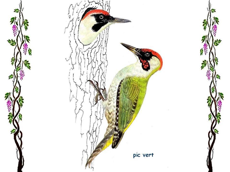 Martin-pêcheur Encore un oiseau joliment coloré. Il habite toute lEurope excepté le Grand Nord. En Scandinavie, on ne le trouve que dans les régions l