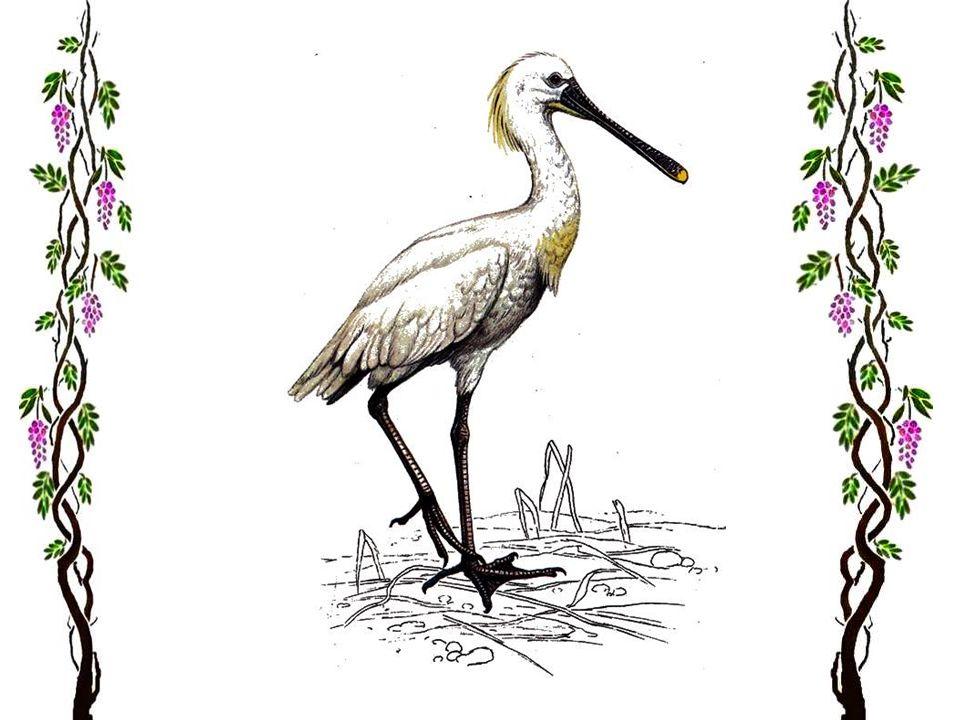 La cigogne blanche « Les cigognes sont de retour avec le soleil des beaux jours », ainsi dit la chanson. La cigogne est le plus connu des oiseaux euro