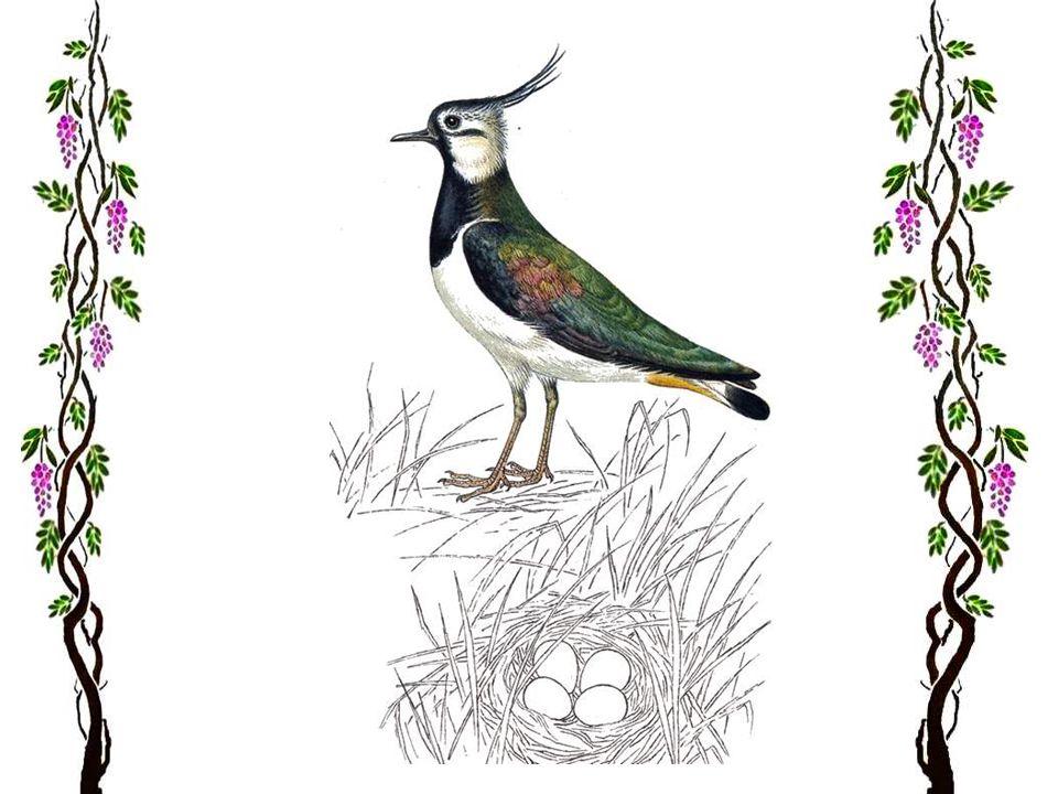 La grue cendrée Cet oiseau majestueux ne se rencontre plus de nos jours que dans le nord et le nord-est de lEurope et la partie nord de lEurope centra