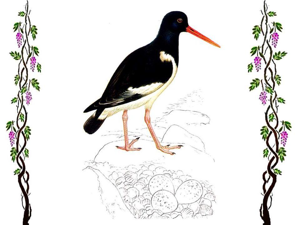 Le vanneau huppé Cet oiseau, lun des plus nombreux parmi les échassiers, est répandu dans presque toute lEurope, excepté en Italie et au Portugal. Il
