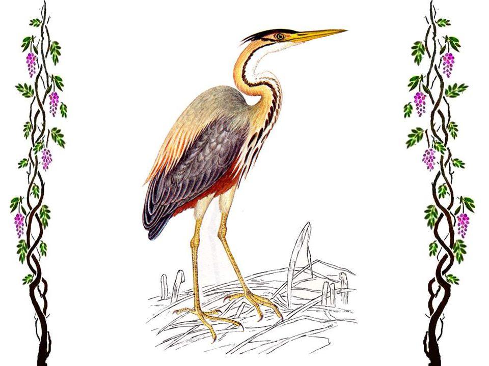 Le héron cendré Cest un oiseau haut sur pattes, de 91 cm. Le mâle et la femelle ont le même plumage. Les aires de nidification du héron cendré se trou