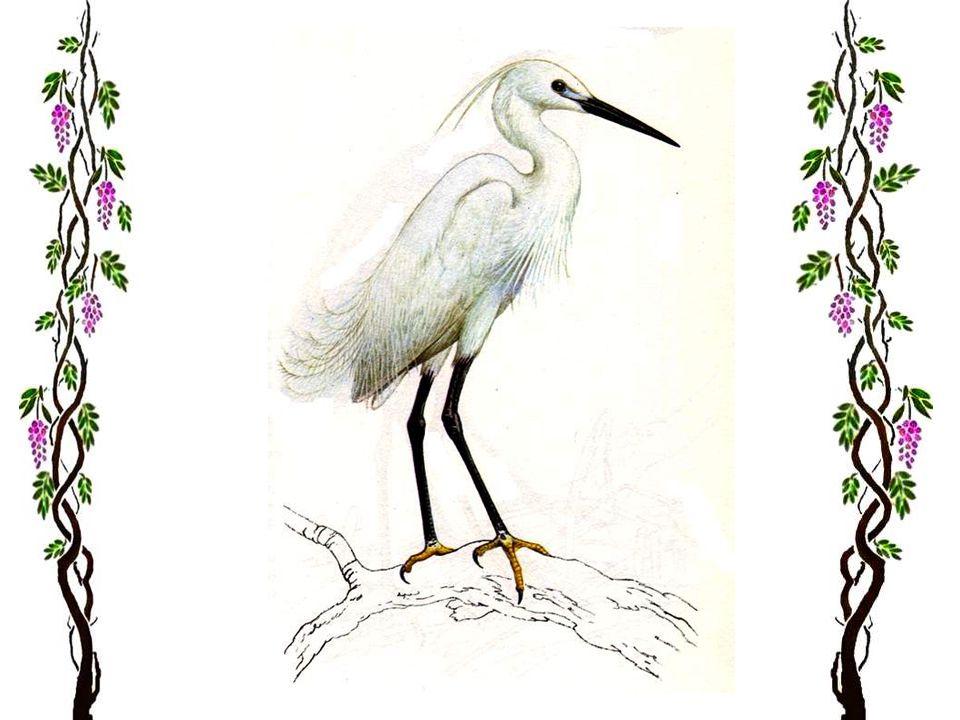 Le héron pourpre Les hérons pourpres sont plus petits que les hérons cendrés (80 cm), et sont plus généralement répandus. Comme leur nom lindique (mai