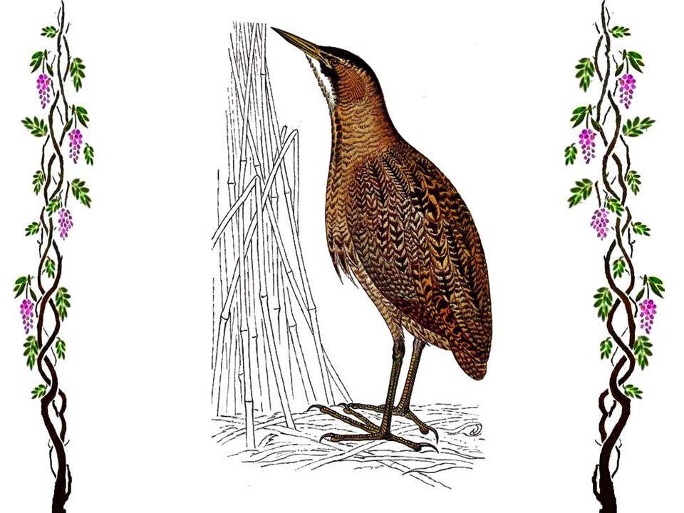 Laigrette garzette Magnifique oiseau blanc de 56 cm environ. Je puis vous assurer quun vol daigrettes posé dans un pré fait stopper les automobilistes