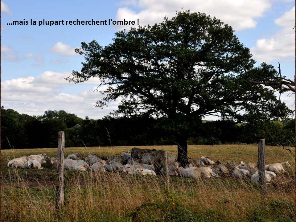 Partout, aux alentours de la forêt, de paisibles troupeaux.