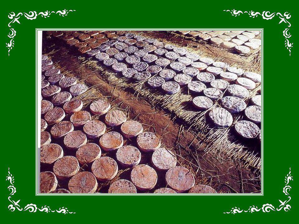 Toutes les couleurs de la Provence ! Locre rouge de la terre piquée de bouquets de lavande verts – ou violets, à lépoque de la floraison ! – les tronc