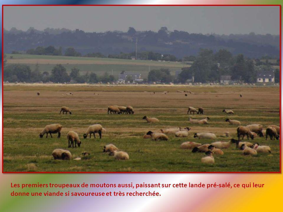 Les premiers troupeaux de moutons aussi, paissant sur cette lande pré-salé, ce qui leur donne une viande si savoureuse et très recherchée.