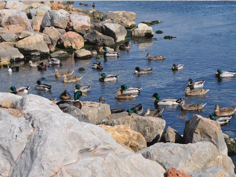 Sur le bord de l'étang, une artiste a appâté des canards pour mieux les immortaliser.