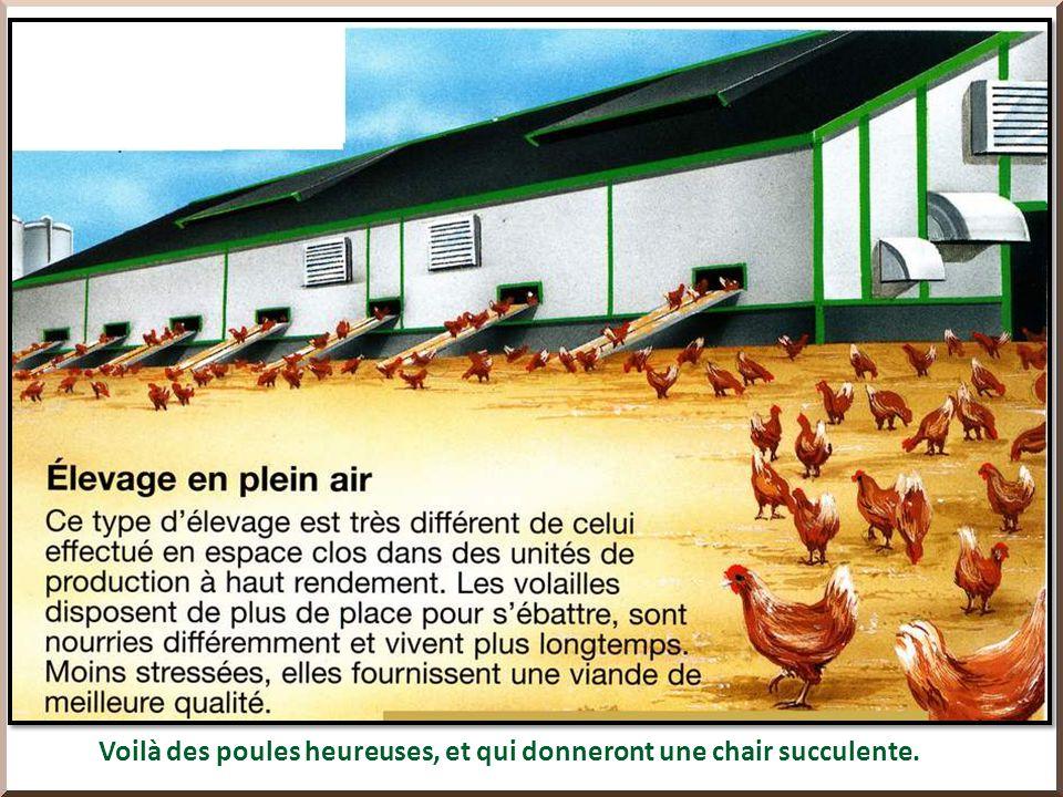 L agriculture, c est aussi l élevage des animaux, en batterie, comme ici en haut, ou les porcs sont emprisonnés sans pouvoir même bouger, ou en liberté, comme ci-dessous.