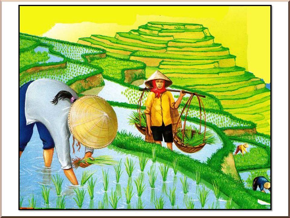 Le riz Cette céréale a besoin de beaucoup d eau.