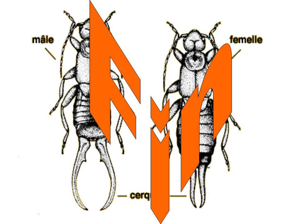 1.Le mâle a de petits cerques. Vrai ou faux. 2.