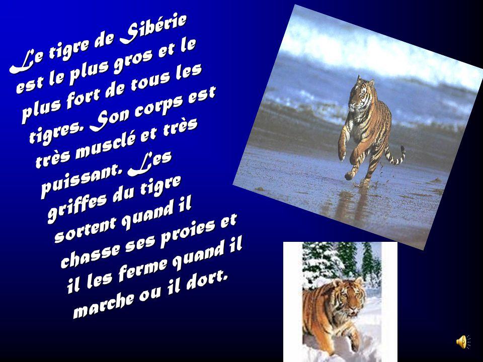 Les tigres se tiennent beaucoup dans les jungles et les forêts tropicales de lAsie et de la Chine. Le seul ennemi du tigre cest Lhomme. Le tigre peut