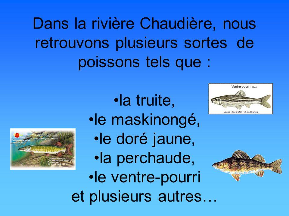 Dans la rivière Chaudière, nous retrouvons plusieurs sortes de poissons tels que : la truite, le maskinongé, le doré jaune, la perchaude, le ventre-po