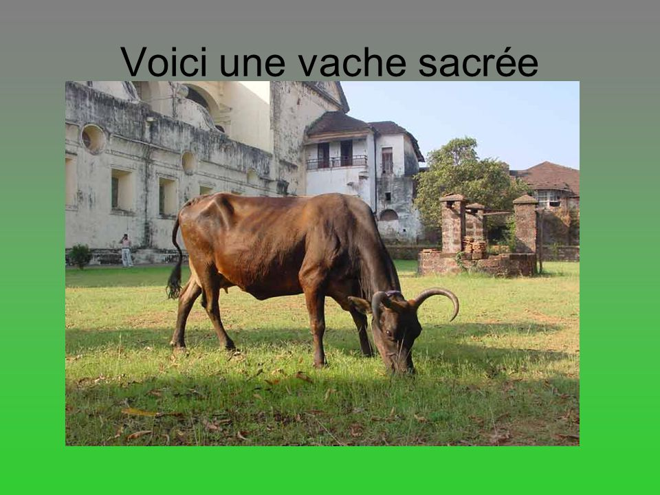 Voici une vache sacrée