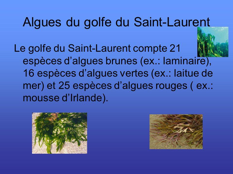 Algues du golfe du Saint-Laurent Le golfe du Saint-Laurent compte 21 espèces dalgues brunes (ex.: laminaire), 16 espèces dalgues vertes (ex.: laitue de mer) et 25 espèces dalgues rouges ( ex.: mousse dIrlande).