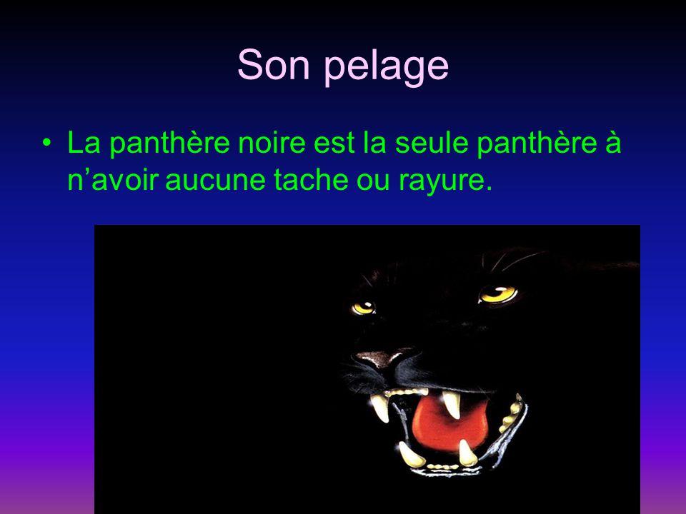 Son pelage La panthère noire est la seule panthère à navoir aucune tache ou rayure.
