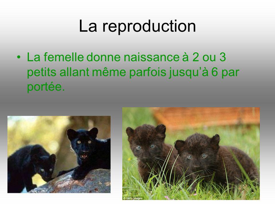 La reproduction La femelle donne naissance à 2 ou 3 petits allant même parfois jusquà 6 par portée.