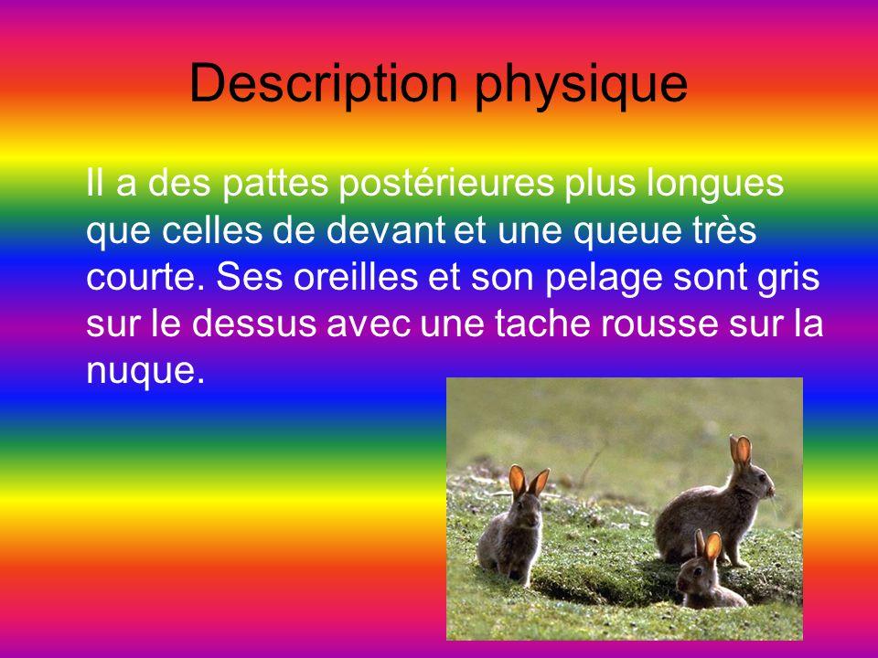 Description physique Il a des pattes postérieures plus longues que celles de devant et une queue très courte. Ses oreilles et son pelage sont gris sur
