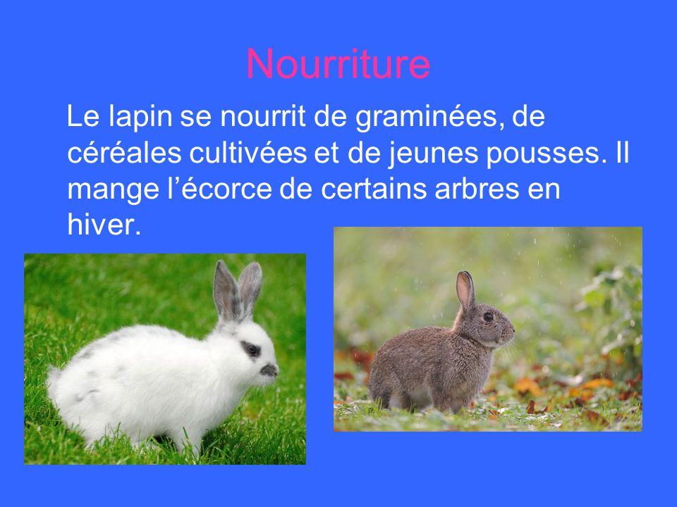 Nourriture Le lapin se nourrit de graminées, de céréales cultivées et de jeunes pousses. Il mange lécorce de certains arbres en hiver.