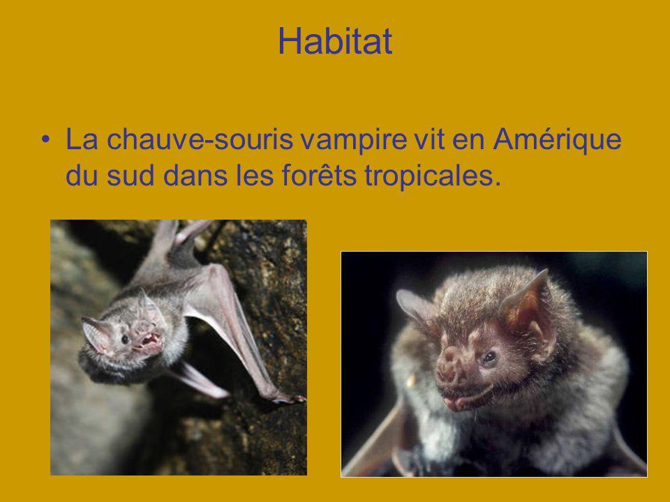 Habitat La chauve-souris vampire vit en Amérique du sud dans les forêts tropicales.