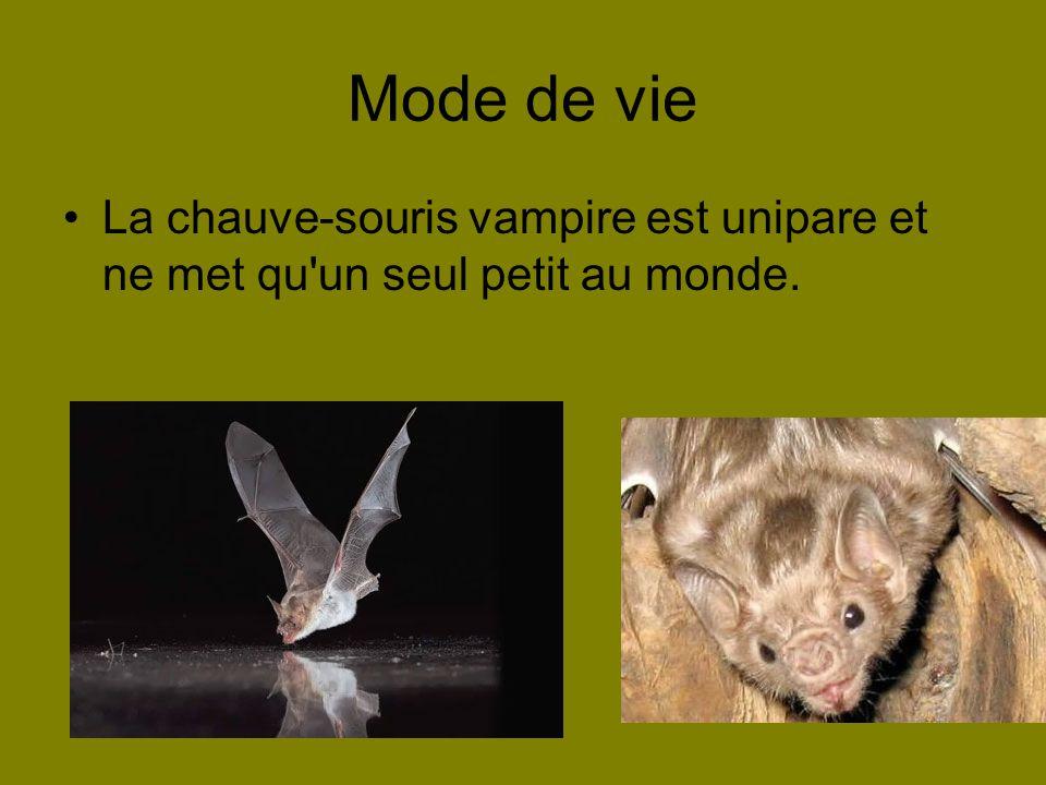 Mode de vie La chauve-souris vampire est unipare et ne met qu'un seul petit au monde.