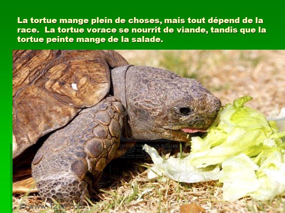 La tortue mange plein de choses, mais tout dépend de la race.