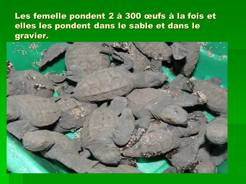 Les femelle pondent 2 à 300 œufs à la fois et elles les pondent dans le sable et dans le gravier.