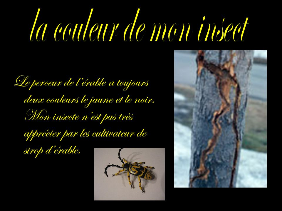 Le perceur de lérable a toujours deux couleurs le jaune et le noir. Mon insecte nest pas très apprécier par les cultivateur de sirop dérable.