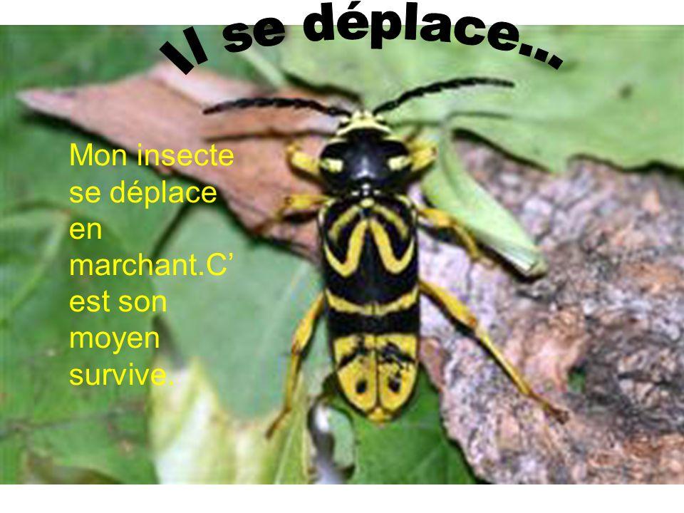 Mon insecte se déplace en marchant.C est son moyen survive.