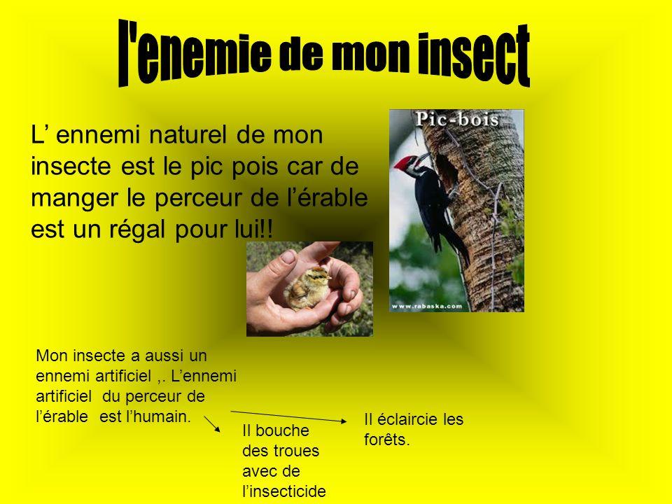 L ennemi naturel de mon insecte est le pic pois car de manger le perceur de lérable est un régal pour lui!! Mon insecte a aussi un ennemi artificiel,.