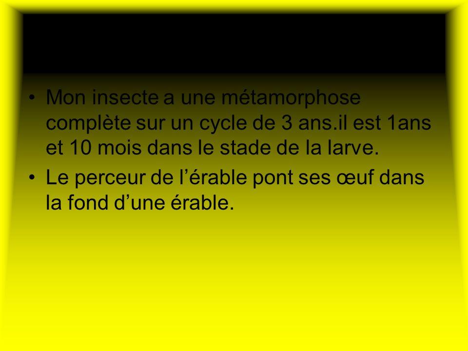 Son cycle de vie Mon insecte a une métamorphose complète sur un cycle de 3 ans.il est 1ans et 10 mois dans le stade de la larve. Le perceur de lérable