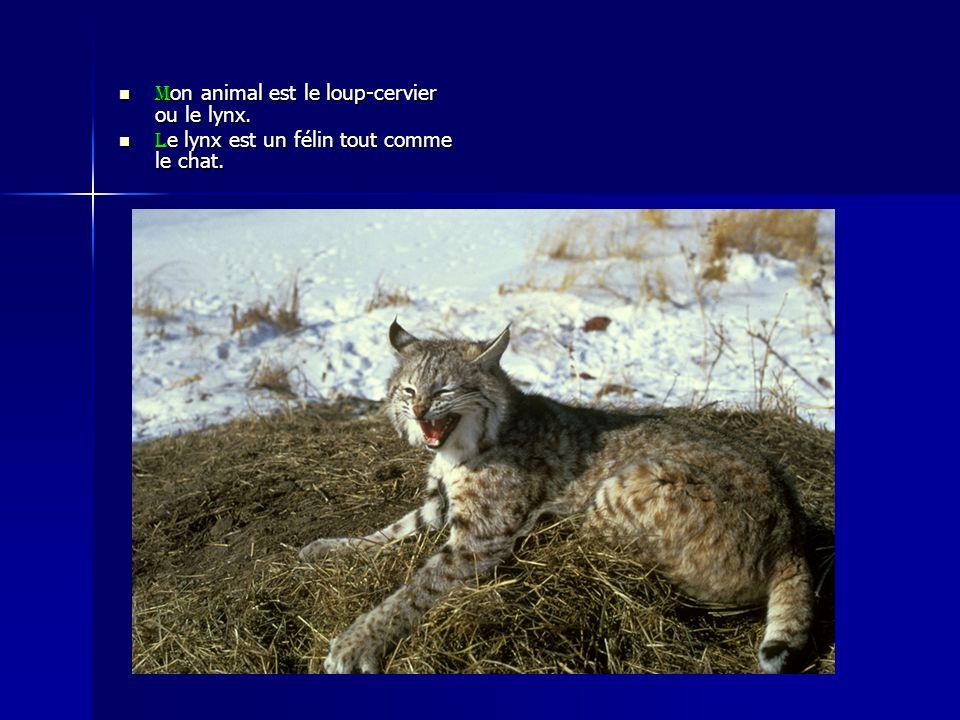 Mon animal est le loup-cervier ou le lynx. Le lynx est un félin tout comme le chat.