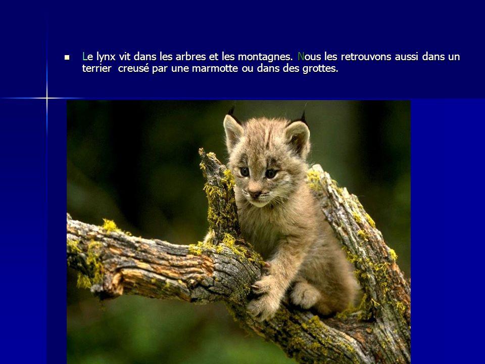 Le lynx vit dans les arbres et les montagnes. Nous les retrouvons aussi dans un terrier creusé par une marmotte ou dans des grottes.