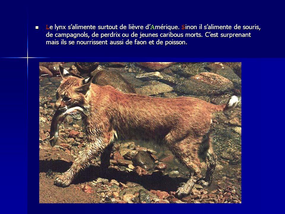 L e lynx salimente surtout de lièvre d A mérique. S inon il salimente de souris, de campagnols, de perdrix ou de jeunes caribous morts. Cest surprenan