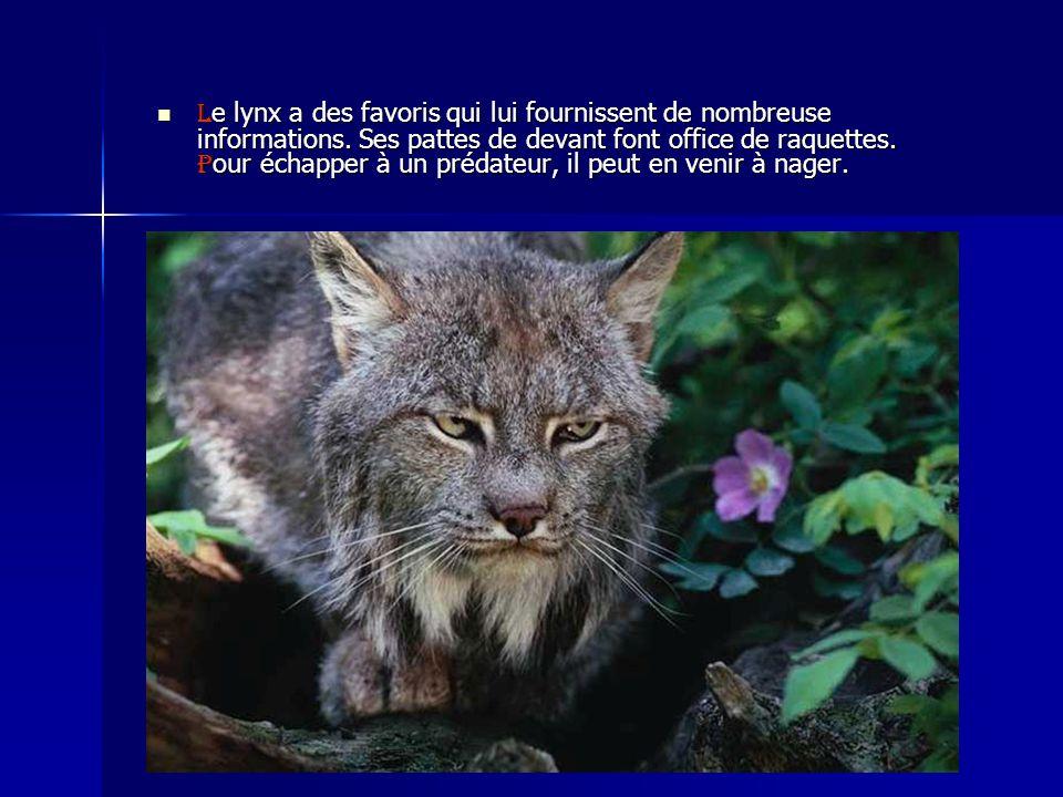 L e lynx a des favoris qui lui fournissent de nombreuse informations. Ses pattes de devant font office de raquettes. P our échapper à un prédateur, il