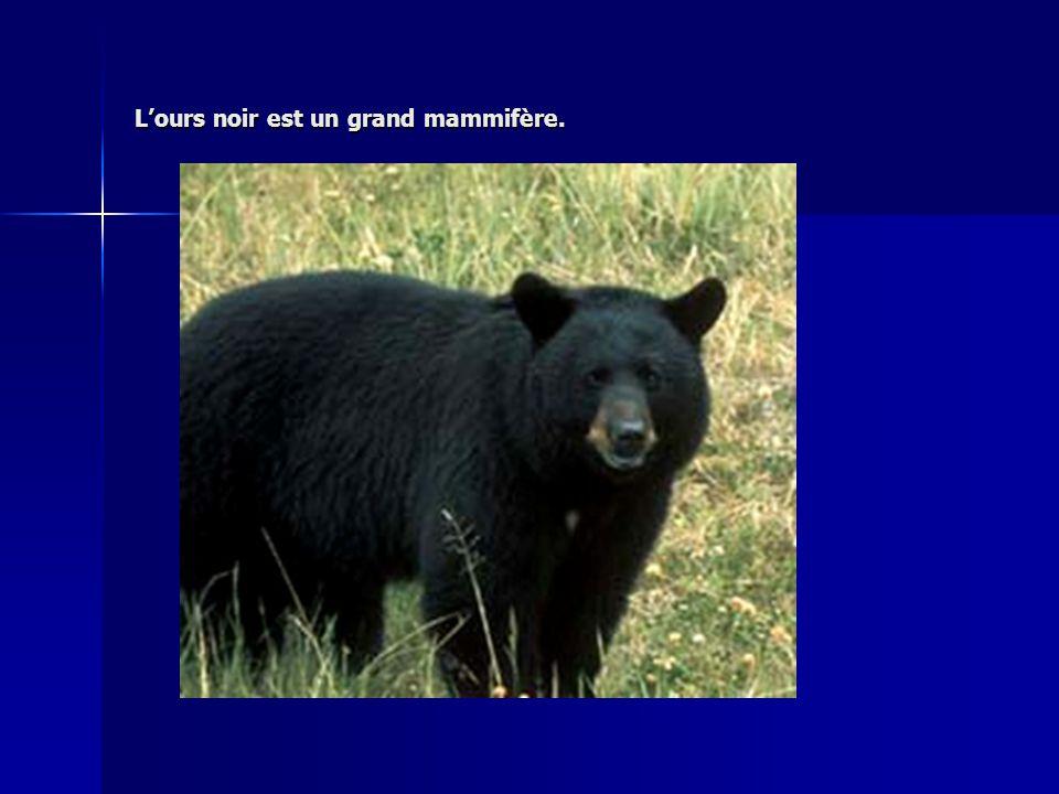 Lours noir est un grand mammifère.