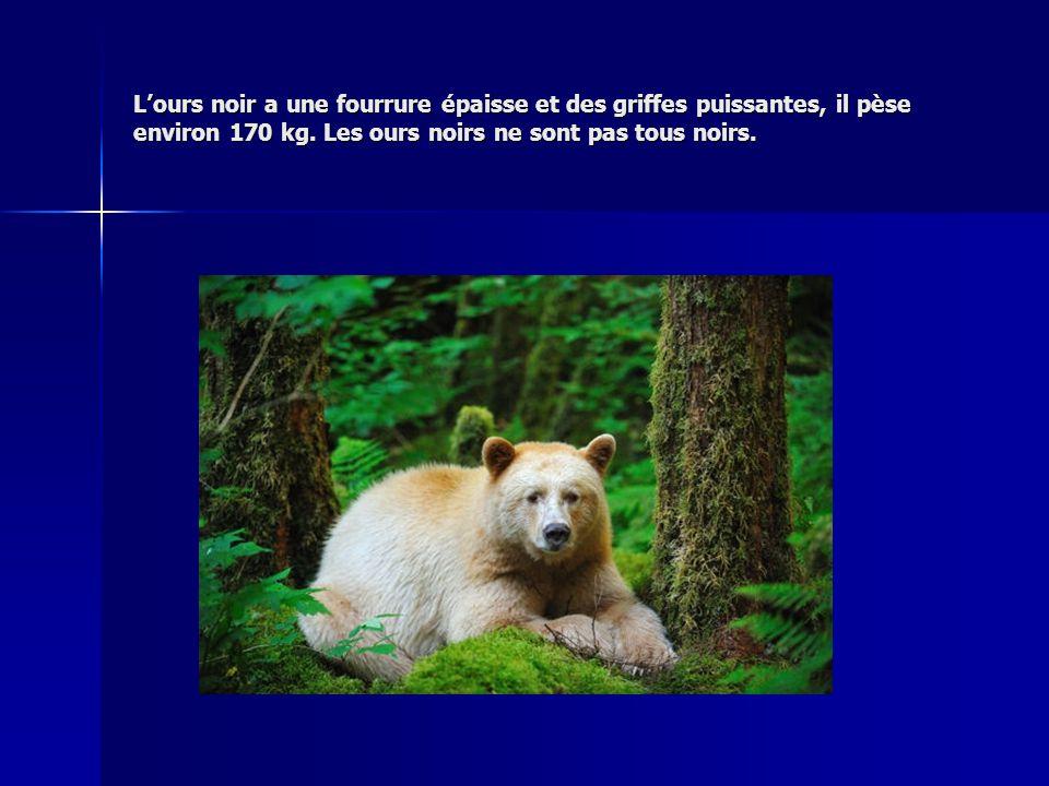 Lours noir a une fourrure épaisse et des griffes puissantes, il pèse environ 170 kg. Les ours noirs ne sont pas tous noirs.