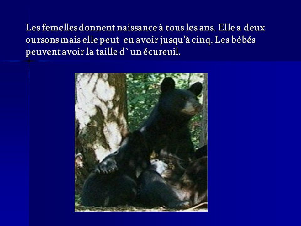 Les femelles donnent naissance à tous les ans. Elle a deux oursons mais elle peut en avoir jusquà cinq. Les bébés peuvent avoir la taille d`un écureui