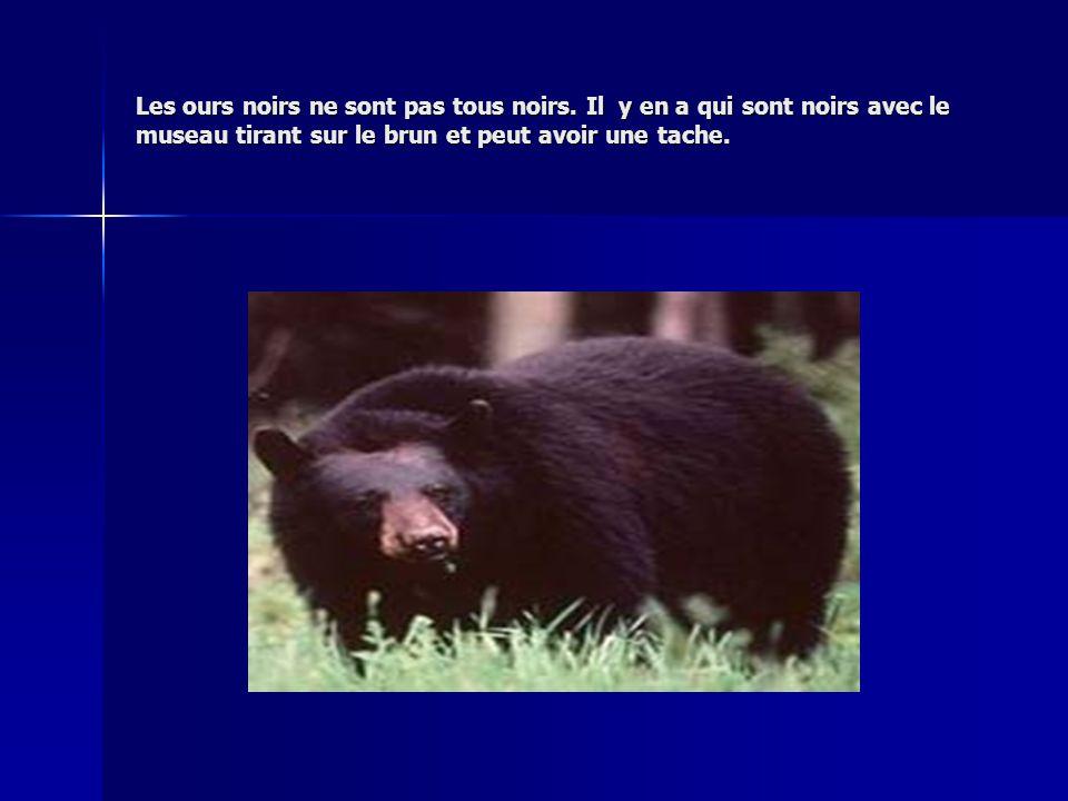 Les ours noirs ne sont pas tous noirs. Il y en a qui sont noirs avec le museau tirant sur le brun et peut avoir une tache.