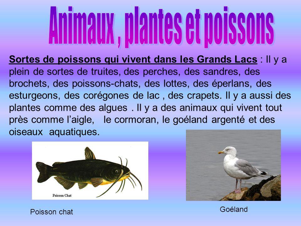 Sortes de poissons qui vivent dans les Grands Lacs : Il y a plein de sortes de truites, des perches, des sandres, des brochets, des poissons-chats, de