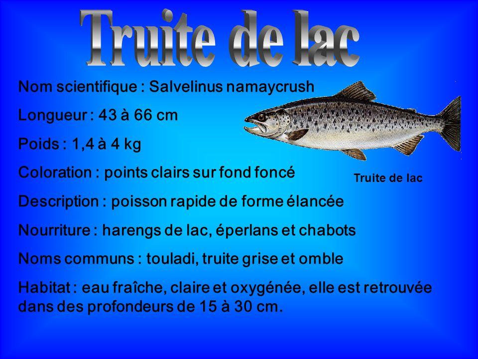 Reproduction de la truite de lac La truite de lac se reproduit en hiver.