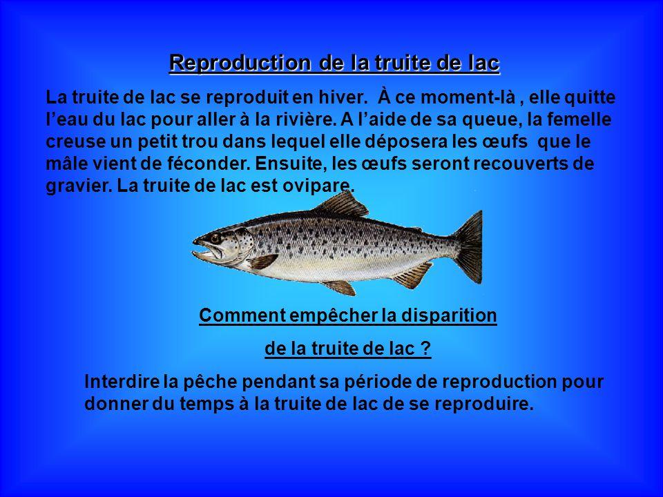 Reproduction de la truite de lac La truite de lac se reproduit en hiver. À ce moment-là, elle quitte leau du lac pour aller à la rivière. A laide de s