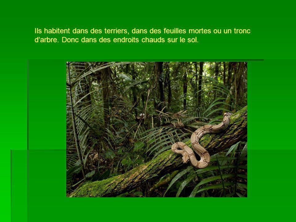 Ils habitent dans des terriers, dans des feuilles mortes ou un tronc darbre. Donc dans des endroits chauds sur le sol.