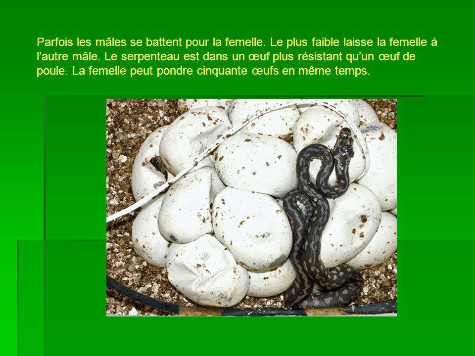 Parfois les mâles se battent pour la femelle. Le plus faible laisse la femelle à lautre mâle. Le serpenteau est dans un œuf plus résistant quun œuf de