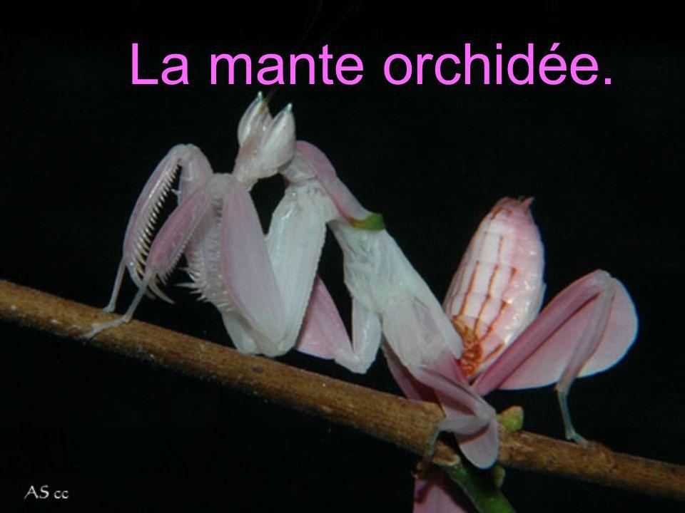 LA MANTE ORCHIDÉELA MANTE ORCHIDÉE La mante orchidée.