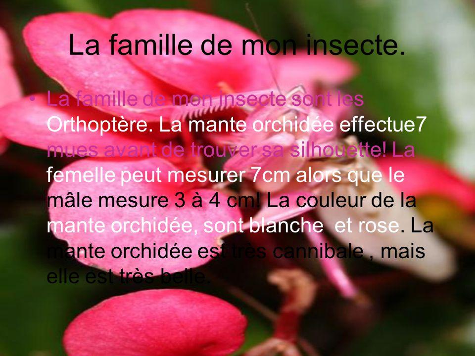 La famille de mon insecte. La famille de mon insecte sont les Orthoptère. La mante orchidée effectue7 mues avant de trouver sa silhouette! La femelle