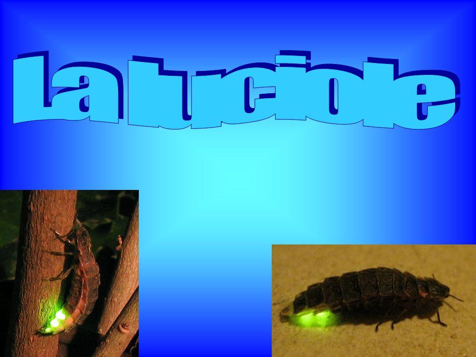 Les luciole a le corps assez mou, plat et de forme ovale, mesurant en moyenne entre 5 mm et 1.5 cm de long.