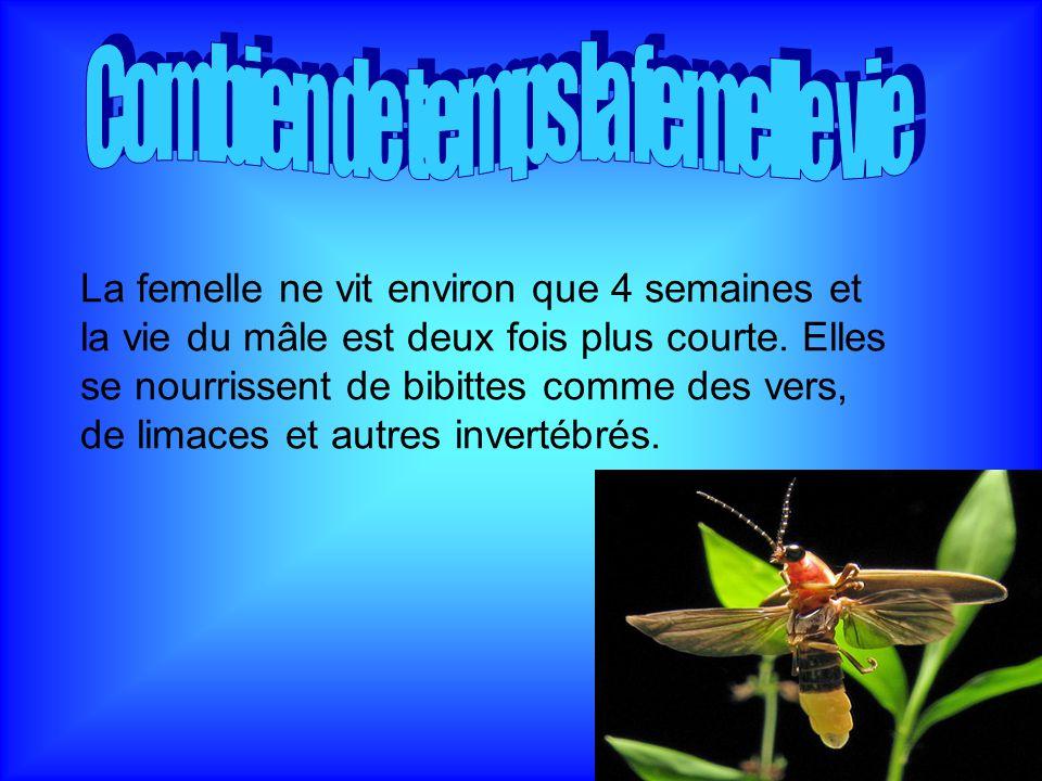 La femelle ne vit environ que 4 semaines et la vie du mâle est deux fois plus courte. Elles se nourrissent de bibittes comme des vers, de limaces et a