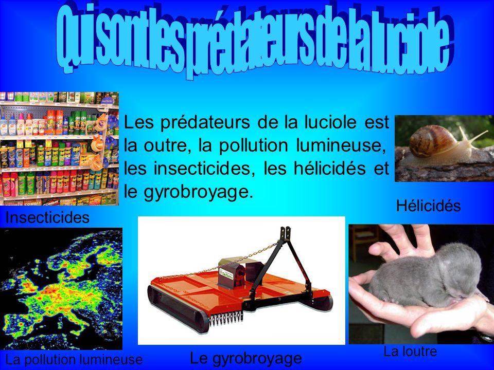 Les prédateurs de la luciole est la outre, la pollution lumineuse, les insecticides, les hélicidés et le gyrobroyage. La loutre La pollution lumineuse
