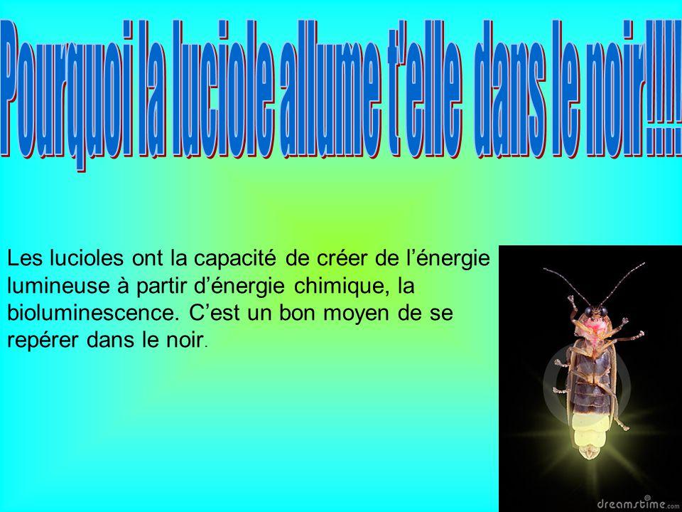 Les lucioles ont la capacité de créer de lénergie lumineuse à partir dénergie chimique, la bioluminescence. Cest un bon moyen de se repérer dans le no