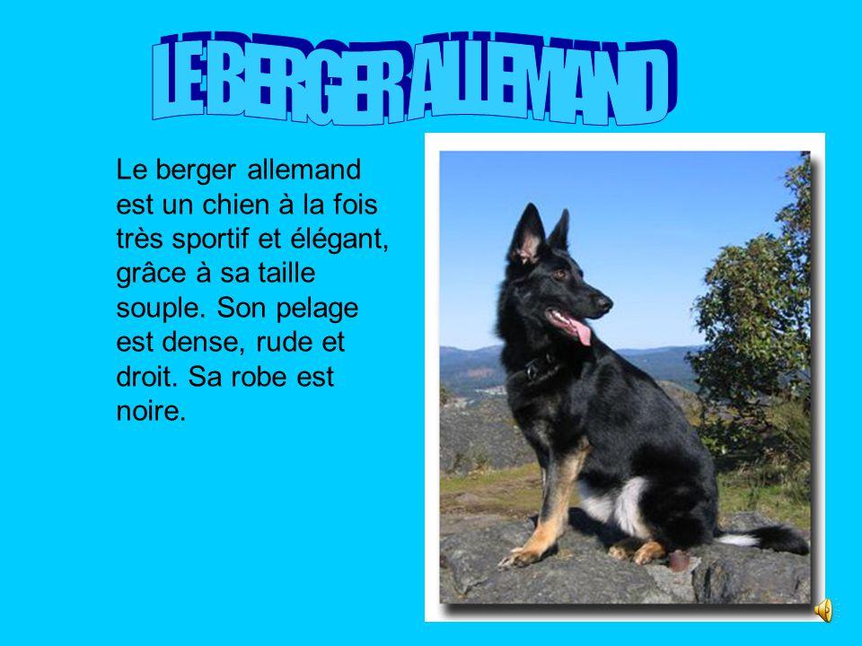 Le berger allemand est un chien à la fois très sportif et élégant, grâce à sa taille souple.